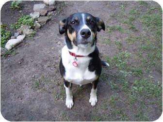 Labrador Retriever/German Shepherd Dog Mix Dog for adoption in London, Ontario - Sugar