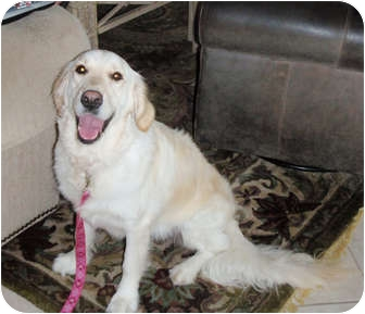 Golden Retriever Dog for adoption in Murdock, Florida - Gracie