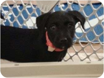 Terrier (Unknown Type, Small) Mix Puppy for adoption in Phoenix, Arizona - Taylor Swift