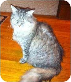 Domestic Mediumhair Cat for adoption in Medford, Massachusetts - Sophie