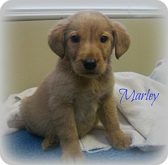 Golden Retriever/Labrador Retriever Mix Puppy for adoption in Cannelton, Indiana - Marley