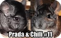 Chinchilla for adoption in Virginia Beach, Virginia - Prada & Chili#10