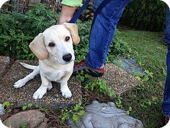 Beagle/Labrador Retriever Mix Puppy for adoption in Smithfield, North Carolina - Tucker