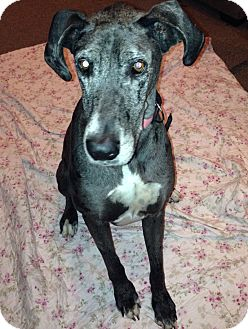 Great Dane Dog for adoption in Springfield, Illinois - Miss Daisy