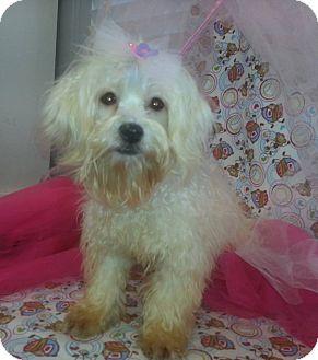 Havanese Mix Puppy for adoption in Cincinnati, Ohio - Cookie