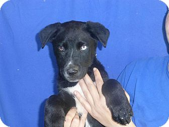 Husky/Labrador Retriever Mix Puppy for adoption in Oviedo, Florida - Marco