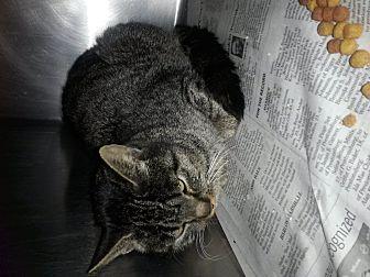 Domestic Shorthair Cat for adoption in Prestonsburg, Kentucky - celeste
