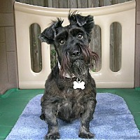 Scottie, Scottish Terrier/Miniature Schnauzer Mix Dog for adoption in Dallas, Texas - Muffie Vanderdaug