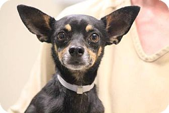 Miniature Pinscher/Chihuahua Mix Dog for adoption in Lebanon, Connecticut - Rocket