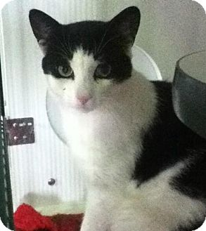 Domestic Shorthair Cat for adoption in Hamilton, Ontario - Buttons