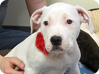 Pit Bull Terrier Mix Puppy for adoption in Republic, Washington - Santitas