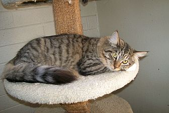 Domestic Longhair Cat for adoption in Scottsdale, Arizona - Maddie
