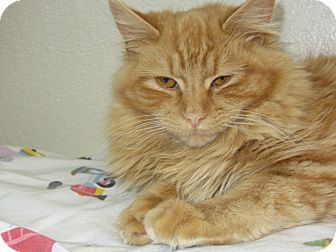 Domestic Longhair Cat for adoption in Ridgway, Colorado - Sally