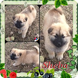 Chow Chow Mix Puppy for adoption in East Hartford, Connecticut - Sheba in CT