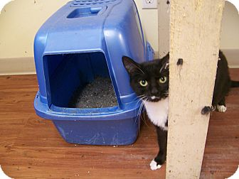 Domestic Shorthair Cat for adoption in Anderson, Indiana - Heart