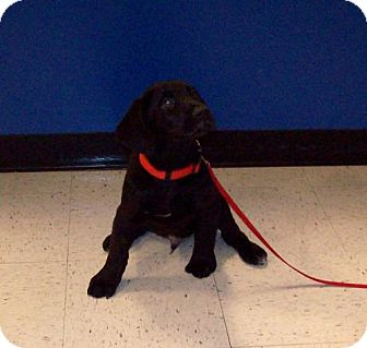 Labrador Retriever Mix Puppy for adoption in Sparta, Illinois - Prince