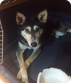 Siberian Husky Mix Dog for adoption in Minneapolis, Minnesota - Forest