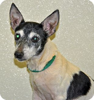 Fox Terrier (Toy) Mix Dog for adoption in Port Washington, New York - Amelia