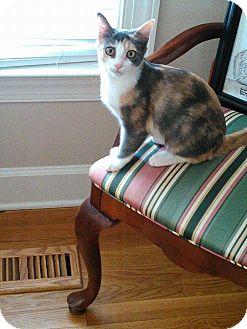 Calico Kitten for adoption in Golsboro, North Carolina - ESTEE LAUDER