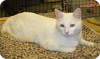 Domestic Shorthair Cat for adoption in Quail Valley, California - Catillac