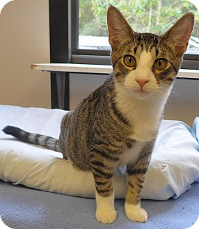 Domestic Shorthair Kitten for adoption in Manning, South Carolina - Harley
