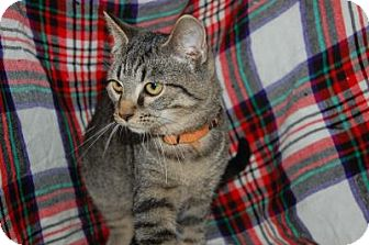 Domestic Shorthair Cat for adoption in South Haven, Michigan - Paulie
