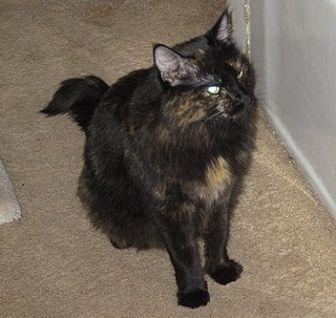 Domestic Longhair Cat for adoption in San Jose, California - Cappie