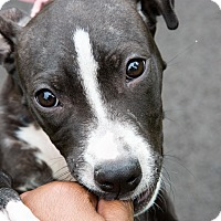 Adopt A Pet :: Chloe - Reisterstown, MD