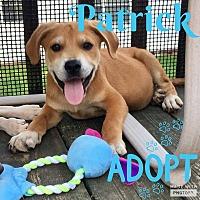 Adopt A Pet :: Patrick - Smithtown, NY