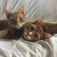 Adopt A Pet :: Whiskers and Garfield - Dallas, TX