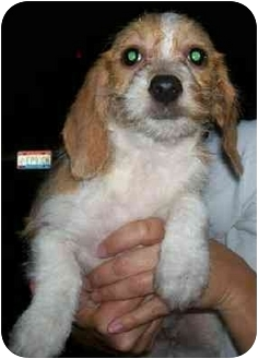 Bichon Frise/Beagle Mix Puppy for adoption in Wauseon, Ohio - Babs
