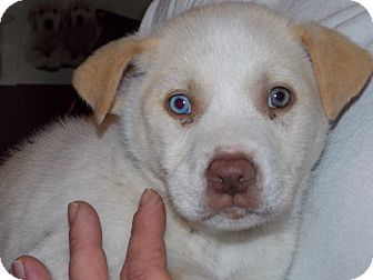 Husky Mix Puppy for adoption in Dover, Delaware - Arragon