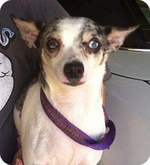Chihuahua Dog for adoption in Studio City, California - Starlet