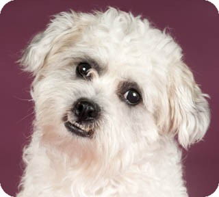 Lhasa Apso/Poodle (Miniature) Mix Dog for adoption in Chicago, Illinois - CJ