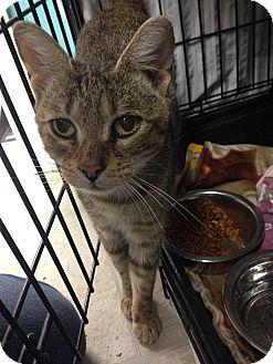 Abyssinian Cat for adoption in Warwick, Rhode Island - Autumn