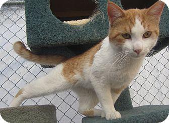 Domestic Shorthair Cat for adoption in Westminster, California - Ramen