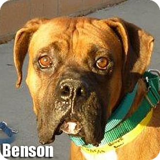 Boxer Dog for adoption in Encino, California - Benson