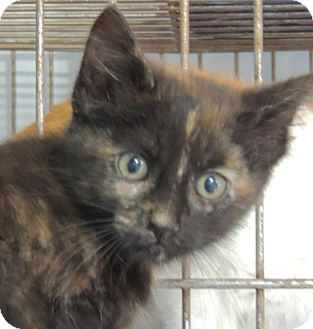 Domestic Shorthair Kitten for adoption in Sullivan, Missouri - Macy