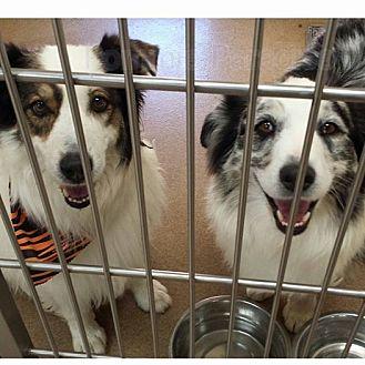 Australian Shepherd Dog for adoption in Las Vegas, Nevada - Levi