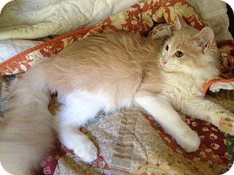 Maine Coon Kitten for adoption in Harrisburg, North Carolina - Lucky