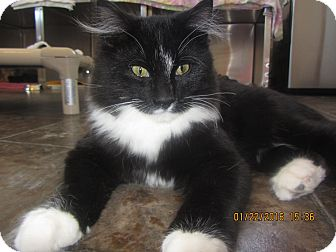 Domestic Longhair Cat for adoption in Ridgway, Colorado - Fluffy