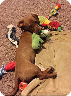 Dachshund Puppy for adoption in Overland Park, Kansas - Max