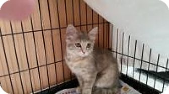 Maine Coon Cat for adoption in Medford, New Jersey - Cleopatra (Sonny's kittens)