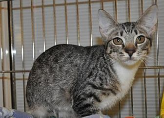 Domestic Shorthair Kitten for adoption in Pompano Beach, Florida - Dixie