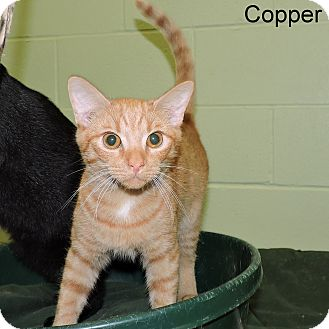 Domestic Shorthair Kitten for adoption in Slidell, Louisiana - Copper