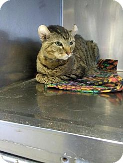 Selkirk Rex Cat for adoption in Sauk Rapids, Minnesota - Raja