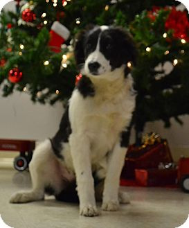 Border Collie Puppy for adoption in Lebanon, Missouri - Pixey
