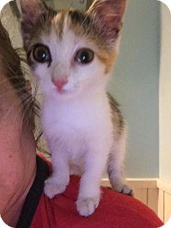 Calico Kitten for adoption in Clarkson, Kentucky - Calypso