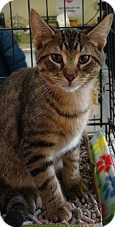 Domestic Shorthair Kitten for adoption in Randolph, New Jersey - Patrick & Patricia