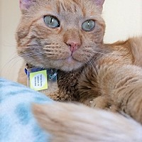 Adopt A Pet :: Maxx - Lakewood, CO